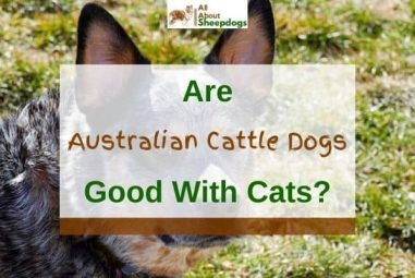 Are Australian Cattle Dogs (Blue Heelers) Good with Cats?