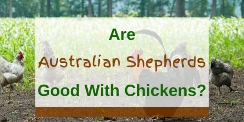 Are Australian Shepherds Good with Chickens? (Solved!)