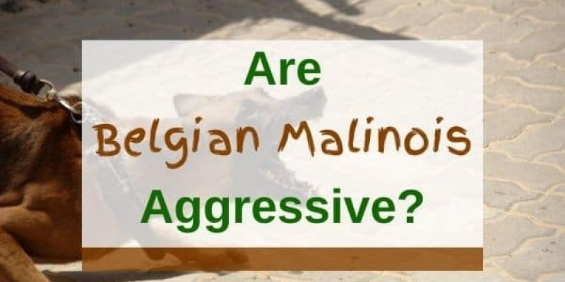 Are Belgian Malinois Aggressive Or Dangerous? (Solved!)