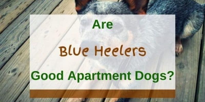 Are Blue Heelers Good Apartment Dogs? (Solved!)