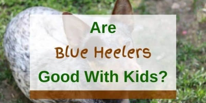 Are Blue Heelers Good with Kids? (Solved!)
