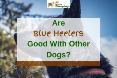 Are Blue Heelers Good with Other Dogs? (Solved!)