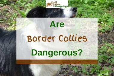 Are Border Collies Dangerous? (Solved!)