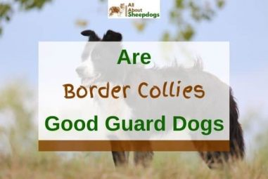 Are Border Collies Good Guard Dogs?