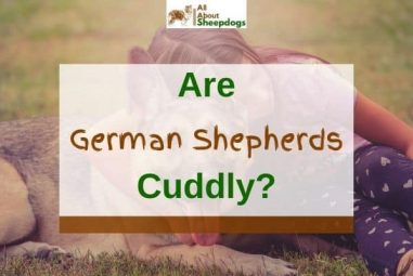 Are German Shepherds Cuddly? (Solved!)