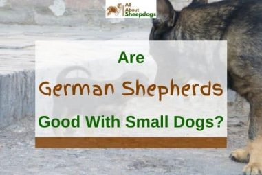 Are German Shepherds Good With Small Dogs? (Solved!)