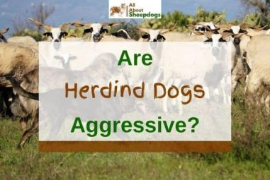 Are Herding Dogs Aggressive? (Explained And Solved!)
