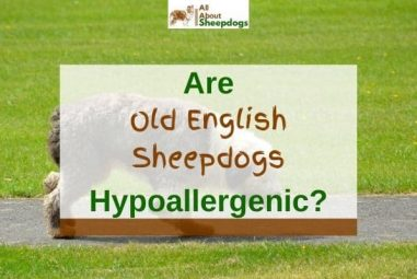 Are Old English Sheepdogs Hypoallergenic? (Solved!)