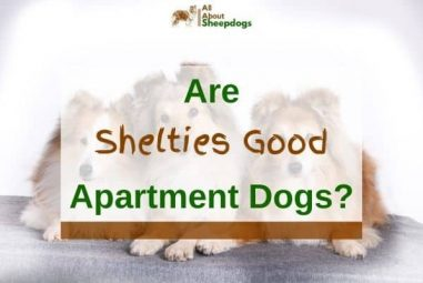 Are Shelties Good Apartment Dogs? (Solved!)
