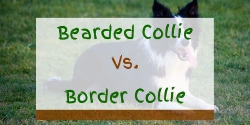 Bearded Collie vs Border Collie – What's The Difference?