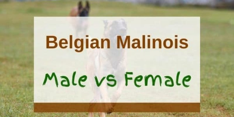 Belgian Malinois Male vs Female – Which One Is Better for You?