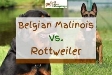 Belgian Malinois vs Rottweiler – Which One To Choose?