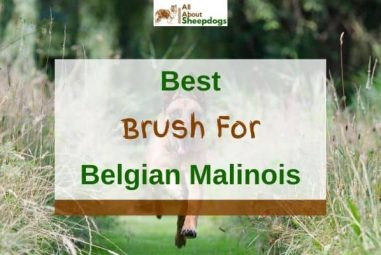 6 Best Brushes for Grooming Belgian Malinois In 2021