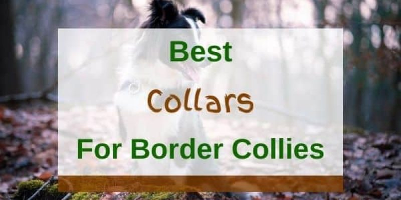 6 Best Collars For Border Collies In 2021