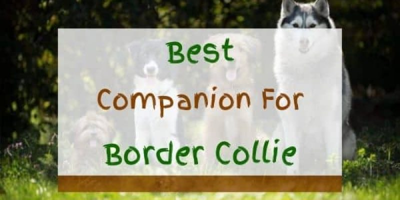 9 Best Companion Dogs For Border Collie (With Pictures!)