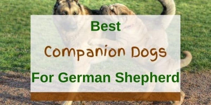 10 Best Companion Dogs for German Shepherds (With Pictures)