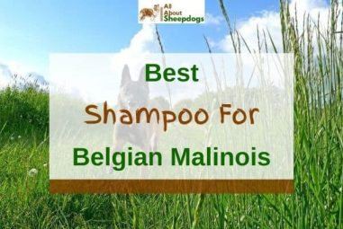 6 Best Shampoos For Belgian Malinois In 2021