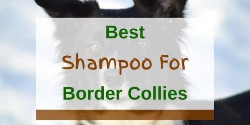 6 Best Shampoos For Border Collies In 2021