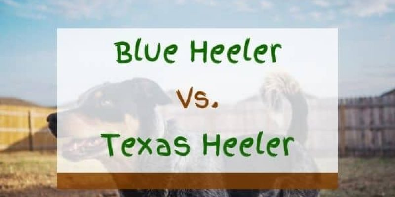 Blue Heeler vs Texas Heeler – What Are The Differences?