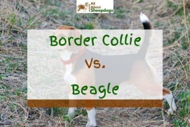 Border Collie vs Beagle – Which One To Choose?