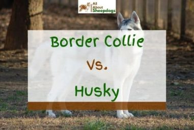 Border Collie vs Husky – What's The Difference?