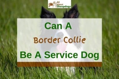 Can A Border Collie Be A Service Dog?