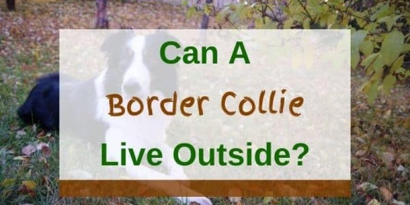 Can a Border Collie Live Outside? (Solved!)