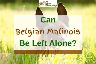 Can Belgian Malinois Be Left Alone? (Solved!)
