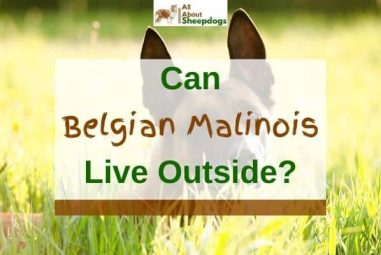 Can Belgian Malinois Live Outside (Solved!)