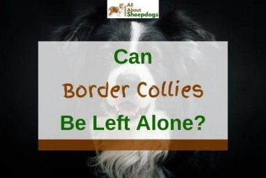 Can Border Collies Be Left Alone? (Solved!)