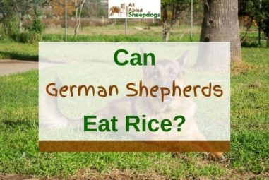 Can German Shepherds Eat Rice? (Solved!)