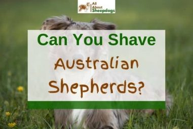 Can You Shave Australian Shepherds? (Solved!)
