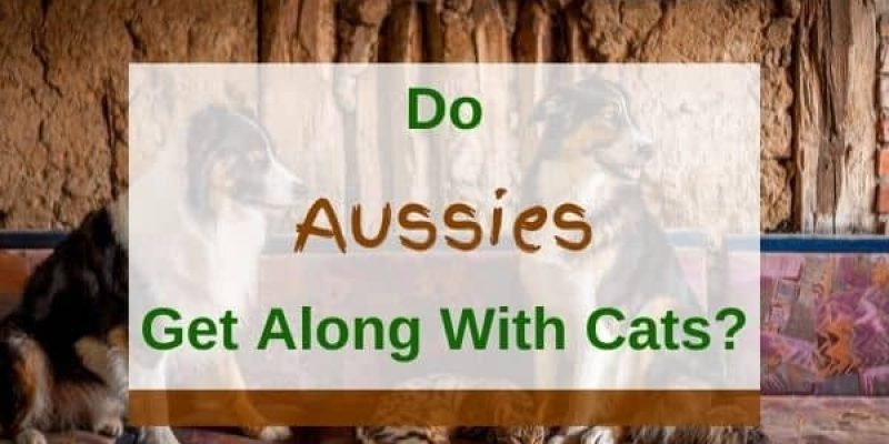 Do Australian Shepherds Get Along With Cats? (Solved!)