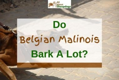 Do Belgian Malinois Bark A Lot? (Explained And Solved!)
