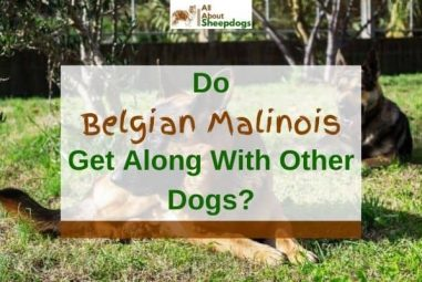 Do Belgian Malinois Get Along With Other Dogs? (Solved!)