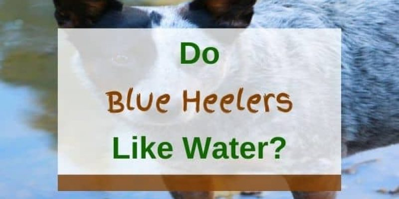 Do Blue Heelers Like Water And Can They Swim? (Answered!)