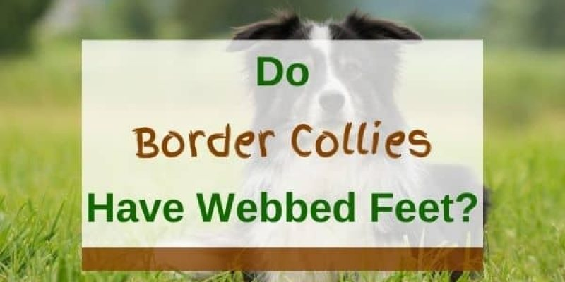 Do Border Collies Have Webbed Feet? (Solved!)