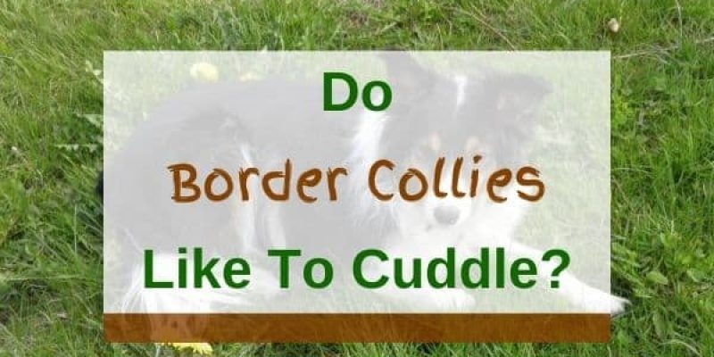 Do Border Collies Like to Cuddle? (Solved!)