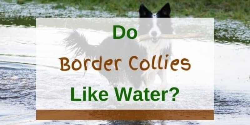 Do Border Collies Like Water And Can They Swim? (Solved!)