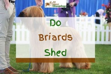 Do Briards Shed? (Answered!)