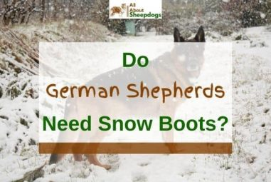 Do German Shepherds Need Snow Boots? (Answered!)