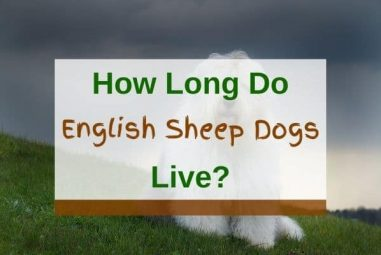 How Long Do Old English Sheepdogs Live?