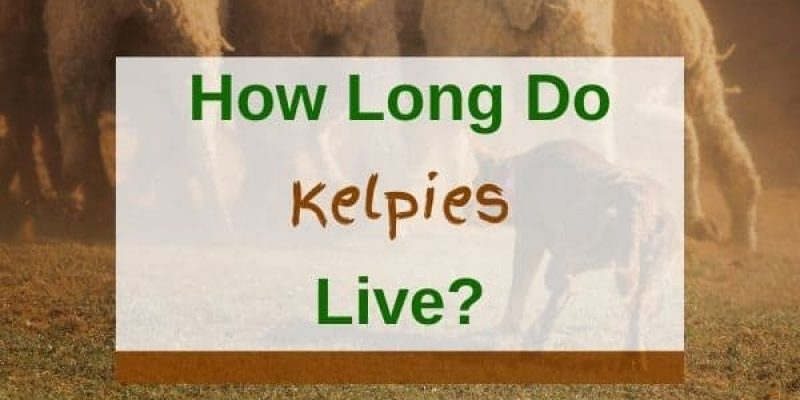 How Long Do Kelpies Live? (Health Problems, Causes Of Death)