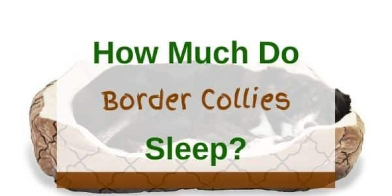 How Much Do Border Collies Sleep?