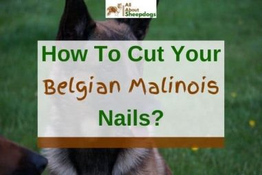 How to Cut Your Belgian Malinois Nails – Step By Step Guide