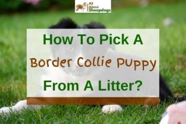 7 Tips On How To Pick A Border Collie Puppy From A Litter