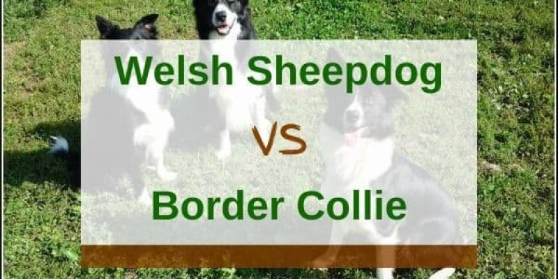 Welsh Sheepdog vs. Border Collie – What Are The Differences?