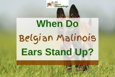 When Do Belgian Malinois Ears Stand Up? (Solved!)