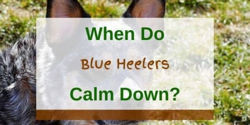When Do Blue Heelers Calm Down? (Solved)