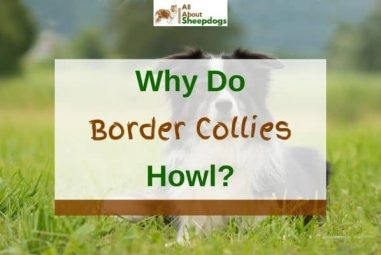 3 Reasons Why Do Border Collies Howl